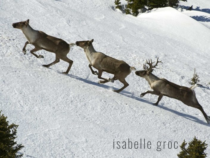 Saving mountain caribou